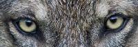 Wolf444